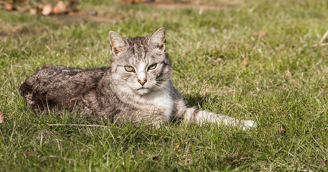 Cat, Domestic Cat, Mackerel, Meadow, Garden, Concerns