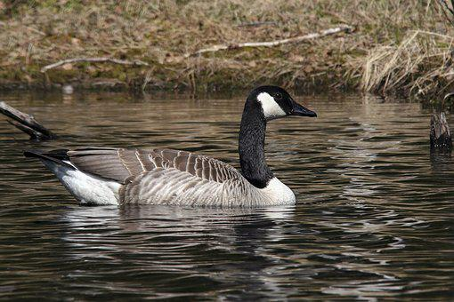 Water, The Nature Of The, Geese