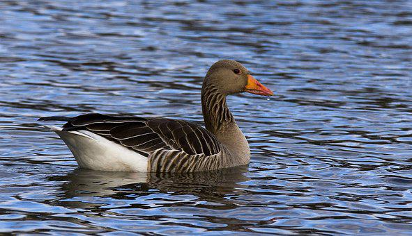 Birds, The Nature Of The, Grågås