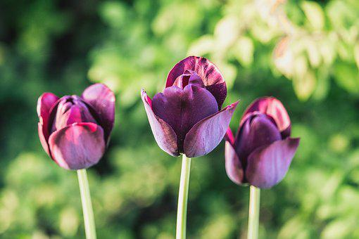 Tulips, Purple, Dark, Green, Spring, Nature, Plant