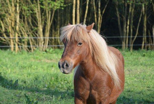 Shetland Pony, Pony Glamour, Mane, Pony, Small Horse