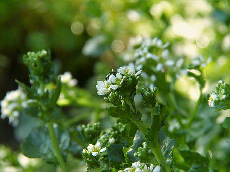 Bavarian Spoon Herb, Cochlearia Bavarica, Moor, Bach