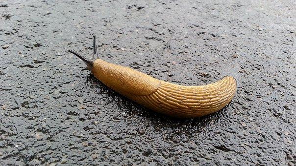 Invertebrate, Gastropod, Nature, Snail, Slimy, Slug