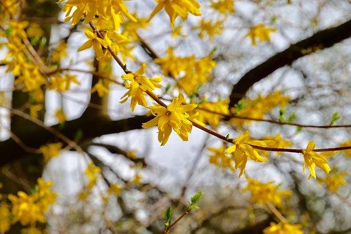 Nature, Tree, Plant, Spring, Forsythia, Olive Crop