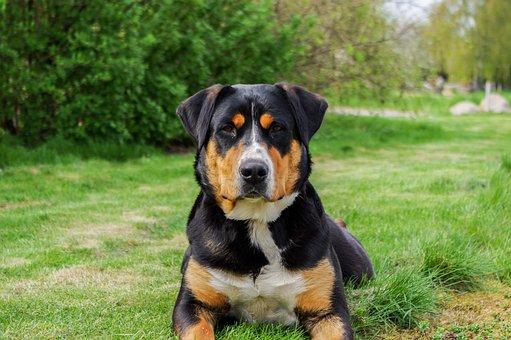 Schweizer Sennenhund, Mammal, Dog, Animal, Pet, Friend