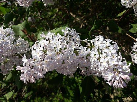 Lilac, Flower, Plant, Nature, Leaf, Flowers