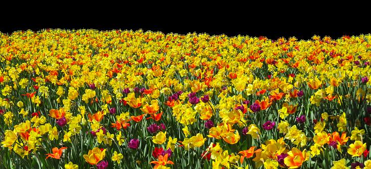 Flower, Plant, Spring, Tulips, Daffodils, Osterglocken