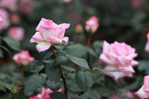 Flowers, Nature, Plants, Leaf, Garden, Rose, Pink Roses