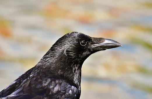 Crow, Raven Bird, Raven, Black, Nature, Bill