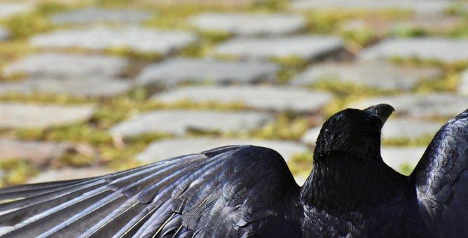 Crow, Raven Bird, Raven, Black, Nature