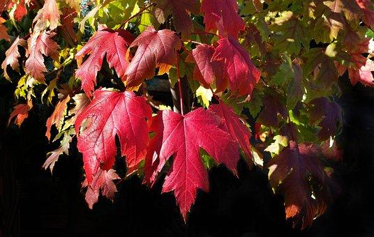 Autumn, Leaf, Fall, Nature, Flora, Season
