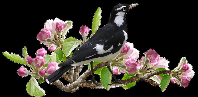 Murray Magpie, Bird, Apple Blossom, Spring, Peewee