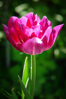 Nature, Flower, Plant, Summer, Garden, Tulip, Close
