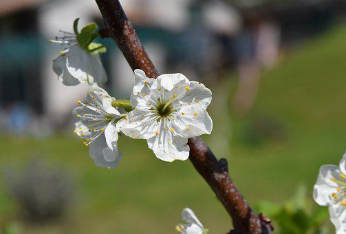 Flower, Tree, Nature, Plant, Branch, White, Spring