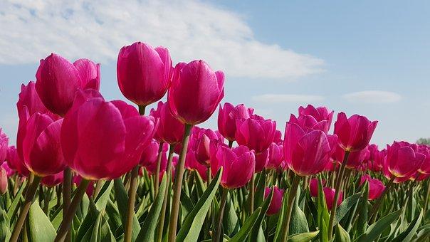 Tulips, Bulbs, Tulip, Spring, Bulb, Holland