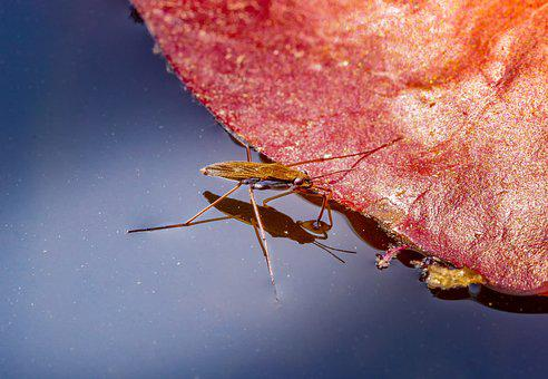 Nature, Water Striders, Gerridae, Insect, Waters, Pond
