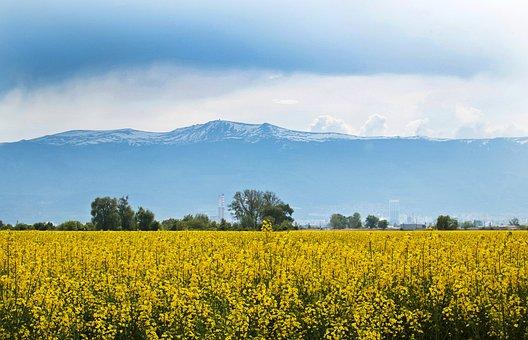 Agriculture, Crop, Bulgaria, Rape Seed, Yellow, Farming