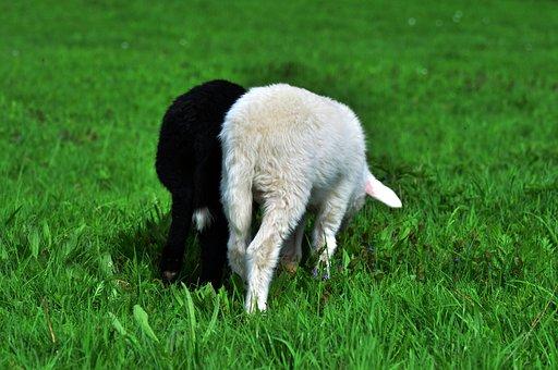 Sheep, Lamb, Black Sheep, Young Animals, Pasture, Grass