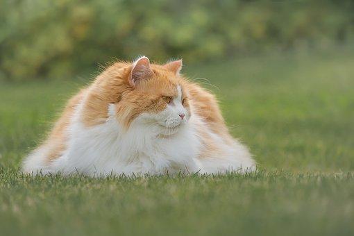 Cat, British Longhair, Breed Cat, Garden, Animal, Grass