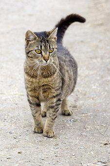 Cat, Animal, Domestic Cat, Pet, Mammal, Tomcat, Animals