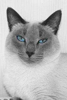 Cat, Cute, Mammal, Animal, Portrait, Pet, Fur, Grey