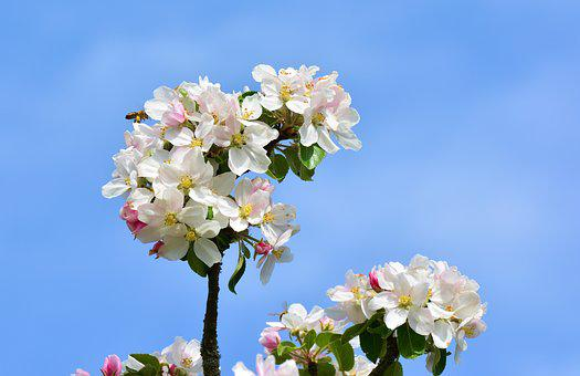 Apple Blossoms, Apple Tree, Tree Blossoms, Flower