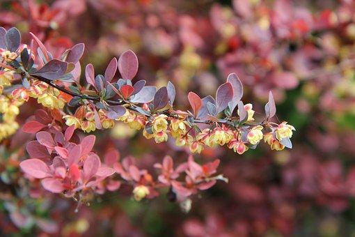 Barbary, Barbary Red, Barbary Flowers, Shrub, Thorny
