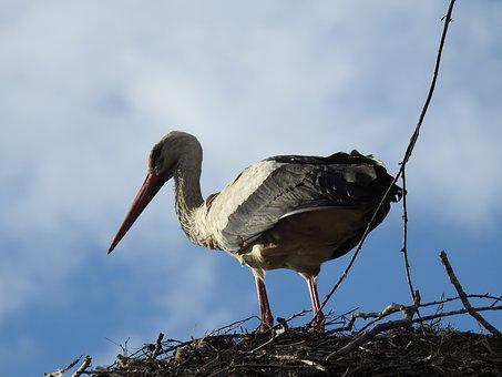 Birds, Nature, Animals, Beak, At The Court Of, Stork