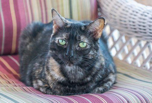 Cat, Feline, Tortoiseshell, Tabby, Close Up Green Eyes