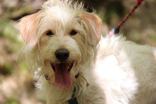 Dog, Hybrid, Tongue, Animal, Cute, Pet, Portrait