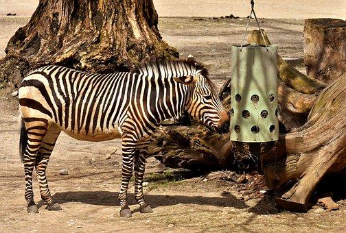 Zebra, Wild Animal, Zoo, Eat, Feeding, Africa, Animal