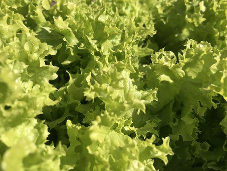 Lettuce, Food, Vegetable, Flora, Leaf, Farm