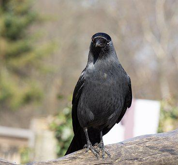 Bird, Animal World, Animal, Nature, Feather, Raven, Sit