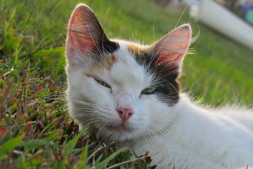 Cat, White, Pet, Feline, Fur, Hair, Whiskers, Grass