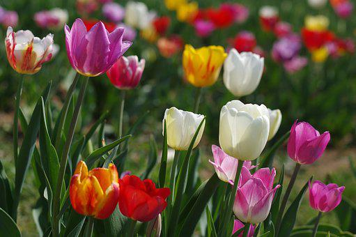 Tulip, Nature, Plant, Flower, Garden, Summer, Floral