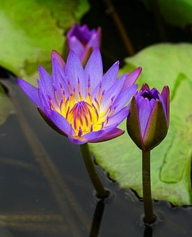 Waterlily, Lily, Lotus, Pool, Aquatic, Flower, Flora