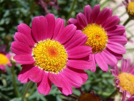Flower, Daisy, Magenta Color, Beauty, Nature, Plant