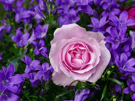 Rose Rosé, Bellflower, Flower, Garden, Plant, Nature