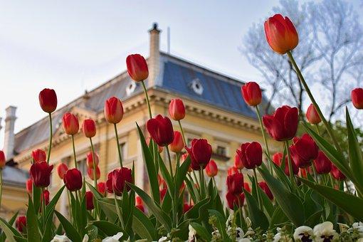 Flower, Plant, Tulip, Garden, Nature, Petal, Floral