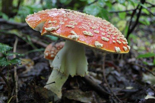 Fungus, Nature, Mushroom, Fall, Toadstool