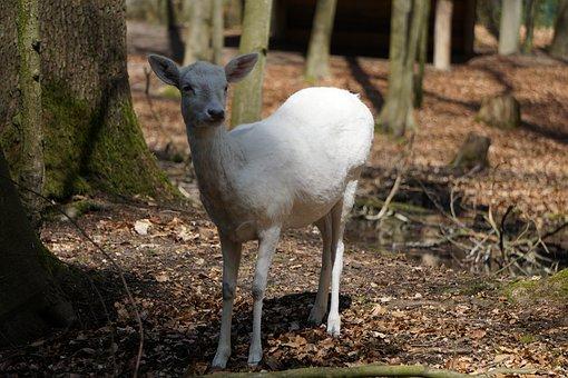 Roe Deer, Mammal, Nature, Animal, Wood, Animal World