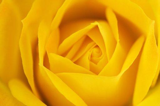 Rose, Orange Rose, Orange, Flower, Romance, Petal