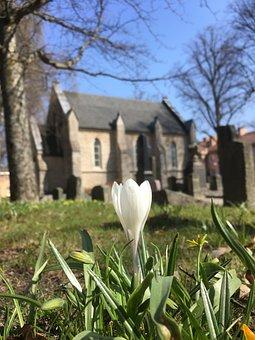 Crocus, Nature, Flower, Outdoor, Lawn, Cemetery, Spring