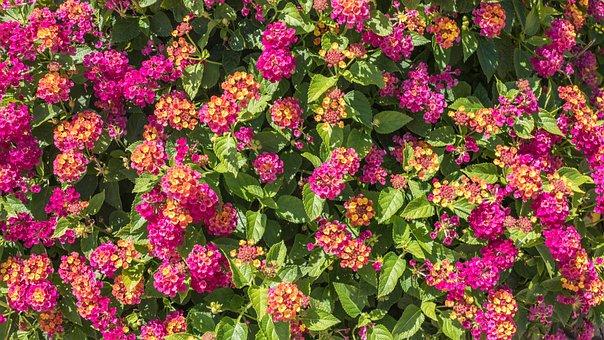 Lantana, Pink, Orange, Bouquet, Flower, Garden, Flora