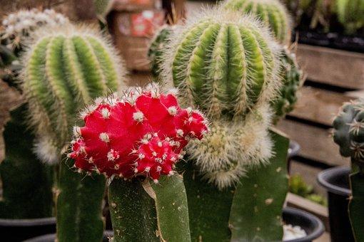 Cactus, The Fruit Of Cactus, Cactaceae, Plant Succulent