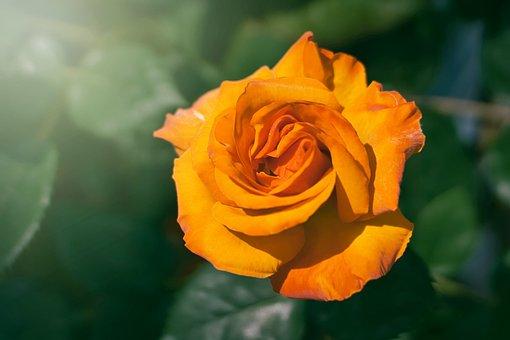 Flower, Nature, Plant, Petal, Leaf, Rose, Sunbeam