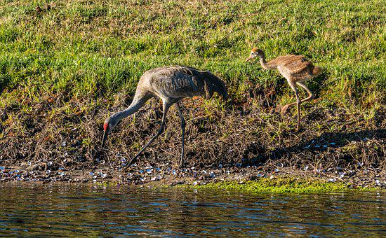 Sand Hill Cranes, Mother, Baby, Eating, Bird
