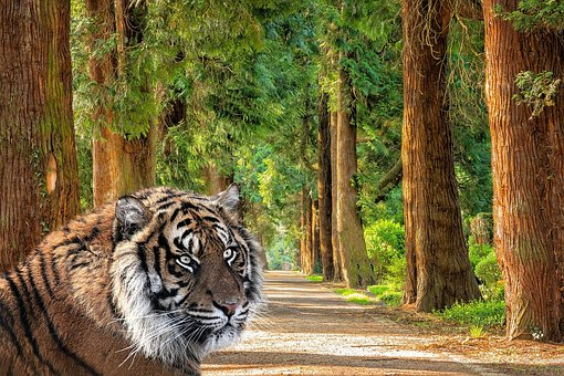 Tiger, Woods, Trees, Nature, Trail