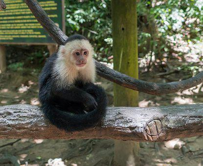 White-headed Capuchin, Monkey, Primate, Wildlife