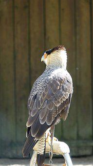 Fauna, Raptor, Nature, Animal, Wild, Puy Du Fou